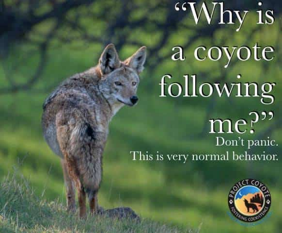 coyote following